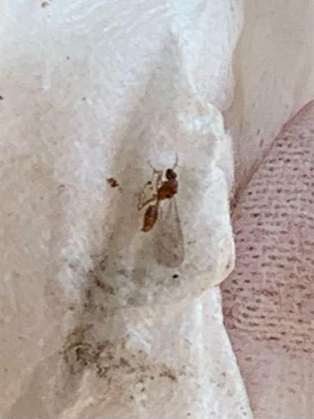 リビングにあるガラス戸のサッシに羽蟻が大量発生しておりました。これはシロアリですか? 専門の方わかれば教えてください。