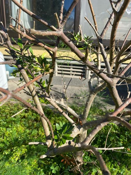 オリーブの木です。3年前に植え直した後、葉っぱが全部落ちて枯れたかと思ってたら今年の春に新芽が出てきました。しかしこれ以上葉っぱは増えずこの夏ずっとこんな感じでした(普通に葉っぱがどんどん増えると思っ てたのに)。一部枯れてるような枝もあるし、、、今後どう対策すればいいですか?見にくいですが写真添付します。