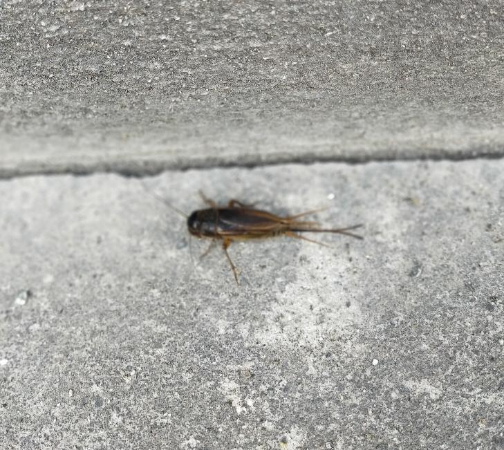 この虫は何という虫ですか? 全長3cmくらいで細長い尻尾があります。