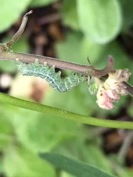 この幼虫の名前をお解りの方、よろしくお願いします。