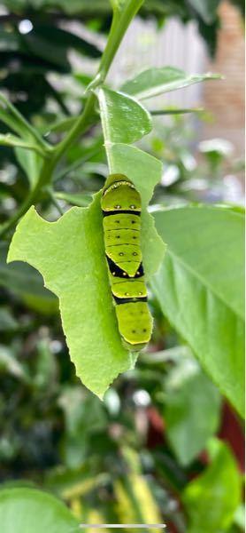 ナミアゲハの幼虫だと思うのですが、今までにこんな点々が出た模様は見たことがありません。ご存知の方いらっしゃいますか?寄生されたから?キアゲハがセリ科の食草がなく、仕方なく柑橘の葉で育ったから?そもそも ナミアゲハではない?うーん・・