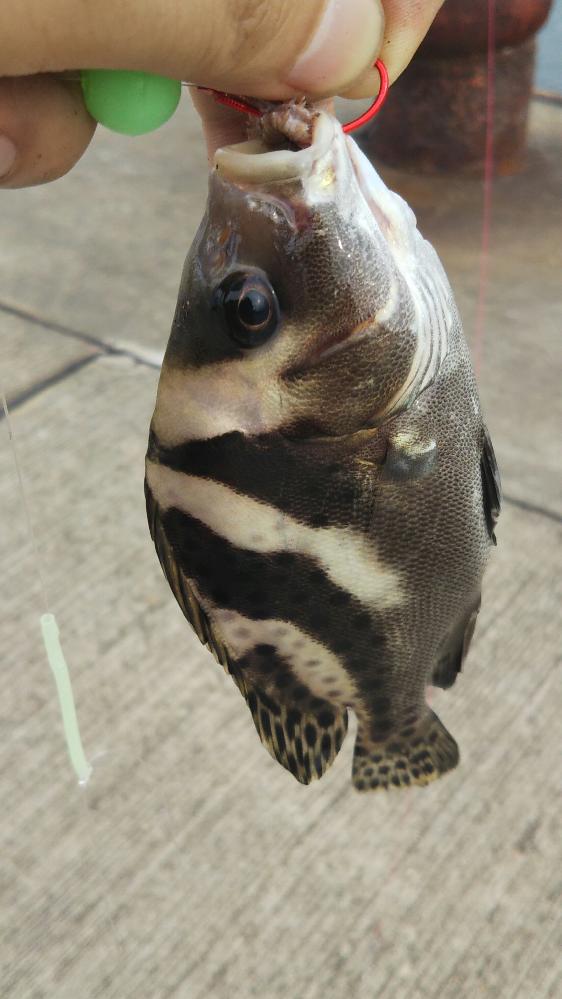 先日この魚がつれたのですが、なんという魚ですか?