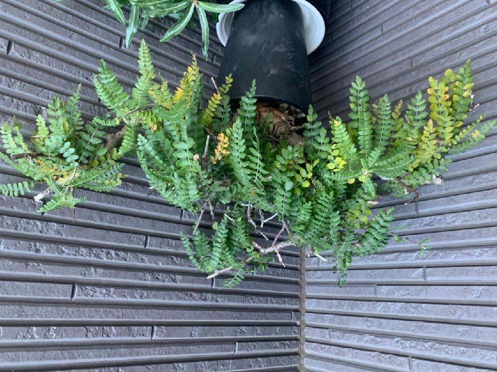 我が家に迎え入れたネグレクタなのですが、2日目で急に葉の色が黄色になってしまいました。 どうしたらいいのかわかりません。 オークションで譲っていただいた方は屋外管理をしていらしたのですが…。同じ...