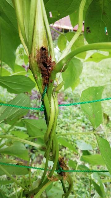 ツルありいんげんの葉の付け根の茎に穴が開き茶色の粒状のものが付着し、葉が枯れてきました。一つだけではなくて他にも同じ所が穴が開いています。これは病気ですか?害虫ですか?対処の仕方を教えて下さい。お願い します。