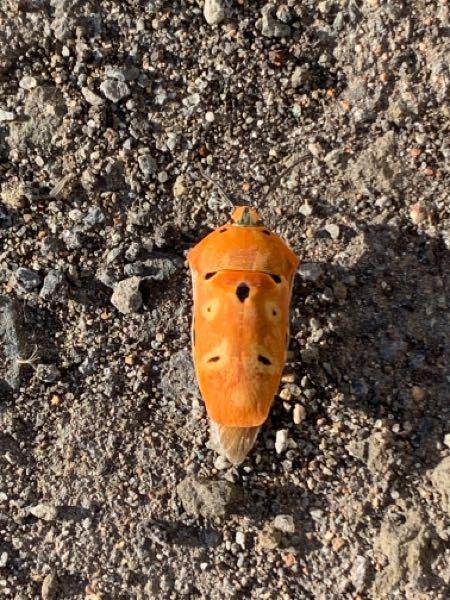 この虫は何という虫でしょうか? 初めて見ますが、カメムシの仲間でしょうか? お腹はカラフルな色をしていました。