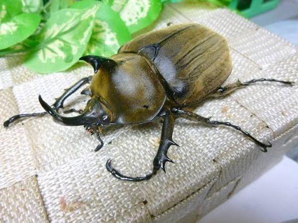 このカブトムシの名前分かりますか? 至急お願いします。