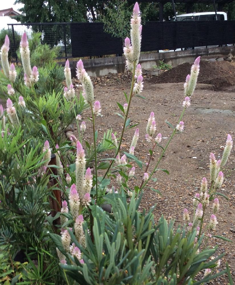 この 植物の名前を教えてください ろうそくのような、、。