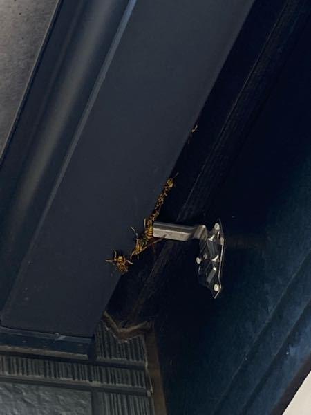 2、3日前から 蜂が10匹くらいベランダにたむろしてます!! 巣は見当たりません。 何をしているのでしょうか? もう 9月なのでそのままでも大丈夫でしょうか? 蜂の種類もわかる方いたら 教えてください。