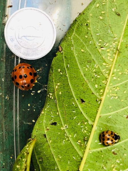 この巨大なてんとう虫の名前分かる方いらっしゃいませんか? ※1円玉側が巨大な子。 もう1匹も種類不明ですが、そちらは通常サイズです。 よろしくお願い致します♪^ ^