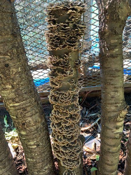 毎年、椎茸とナメコの菌を付けています。今年初めて椎茸とナメコ両方のホダ木から違うキノコが出てきました。初めてなので何のキノコか分かりません、教えてください。放置してても大丈夫なのでしょうか?他の木に移 る事もあるのでしょうか?
