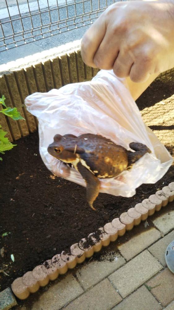 こちらはヒキガエルでしょうか。ウシガエルでしょうか。庭にいました。