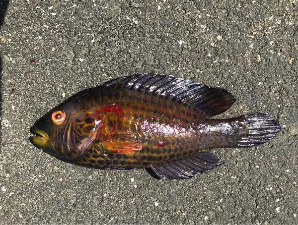 淡路の波止で釣れたんですが、ベラっぽいけどこの魚は何て名前ですか?