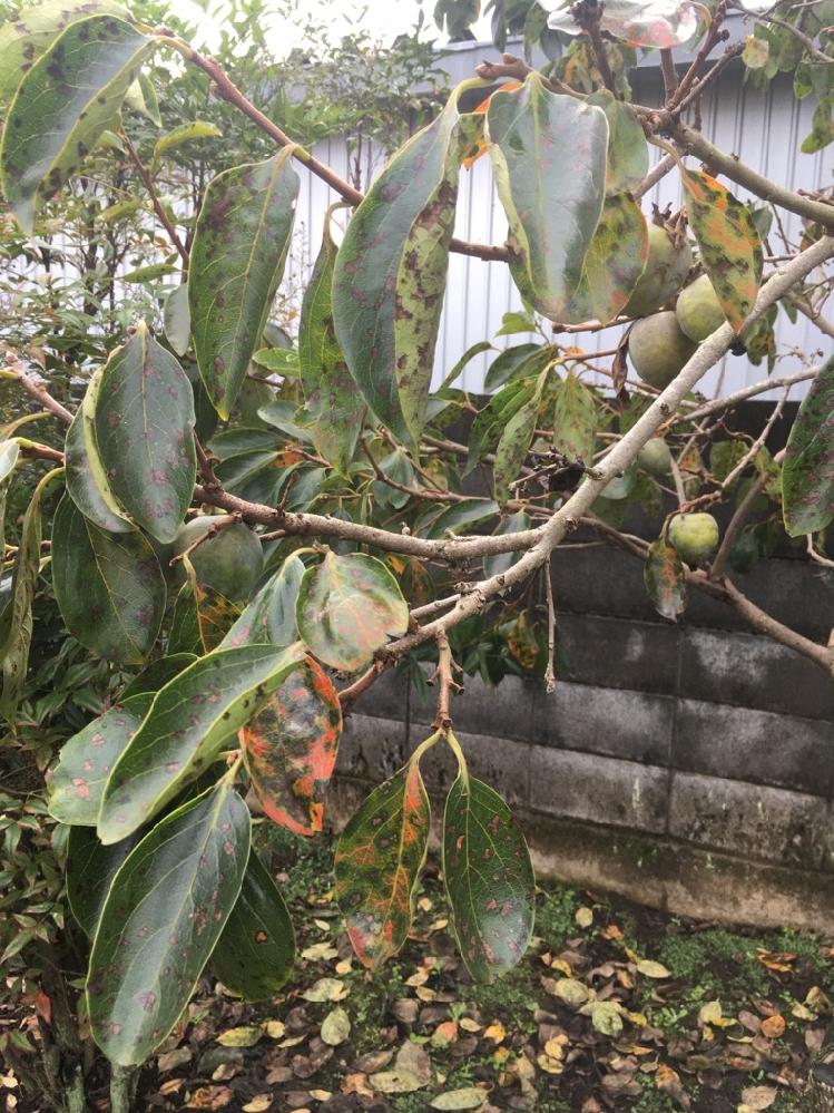 家の庭の柿の木ですが、植えてから十数年、柿の実はなりますが、毎年9月過ぎになると、柿の色が黄色になる前にほとんどの実(へたは木に残っており、へたから下の実)が落ちてしまいます。 落ちた実を観察すると虫に食われた痕跡はありません。ネットで色々と調べてみますと生理落下という現象のようですが、栄養分が足りないのでしょうか。柿は黒い斑点のようなものが付いています。日当たりは悪くありません。改善するにはどうしたらよいのかご教示ください。よろしくお願いします。
