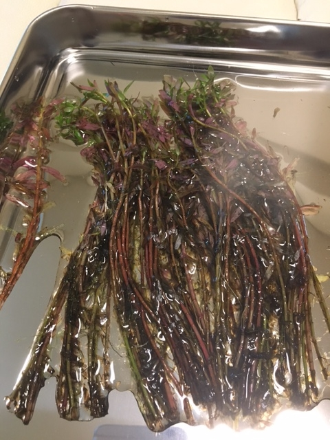 今日袋詰めされた水草を買ってきたのですが ほとんど葉っぱが溶けています 大丈夫なのでしょうか(._.) ロタラの何かだったと思います よろしくお願いします