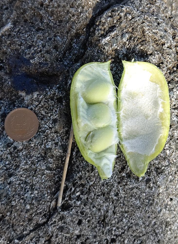 室戸の海岸で、枝豆みたいな植物を見つけました。これはやはり、枝豆なのでしょうか? また、湯がいたりしたら、普通に食べられる物でしょうか?
