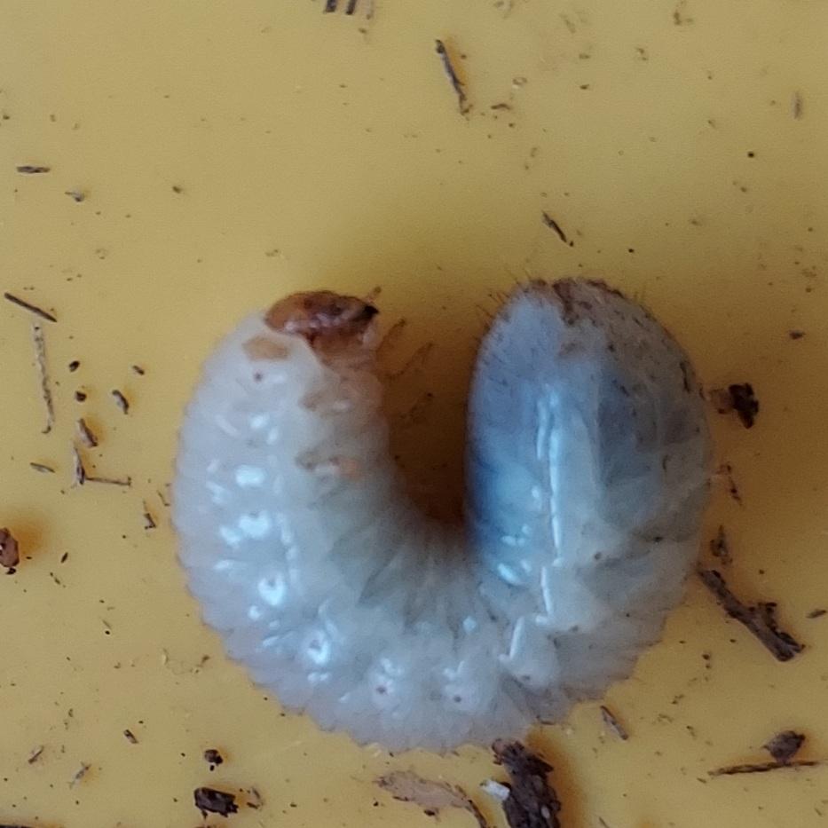 これは何の幼虫ですか?ミヤマクワガタをいれていた腐葉土の中にいました。