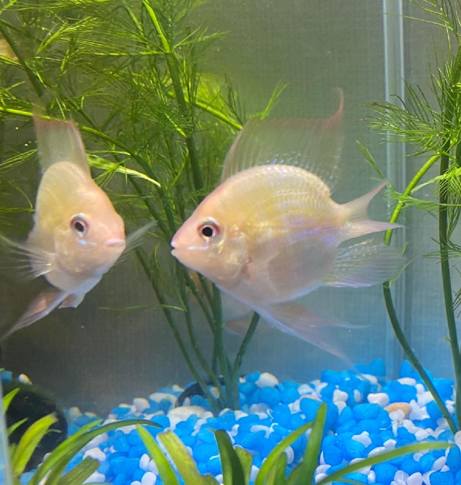 この熱帯魚の正式な名前を教えて下さい。よろしくお願い致します。