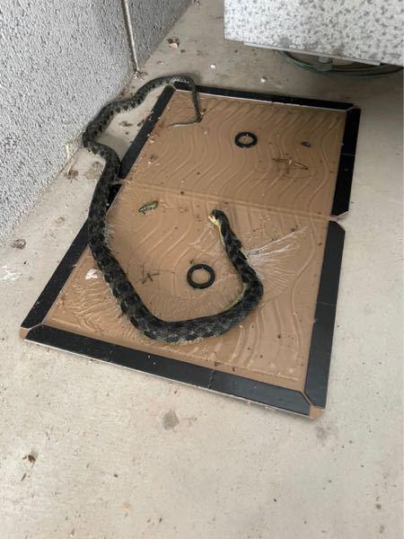 この蛇は何という種類ですか? 近畿地方で目撃しました。