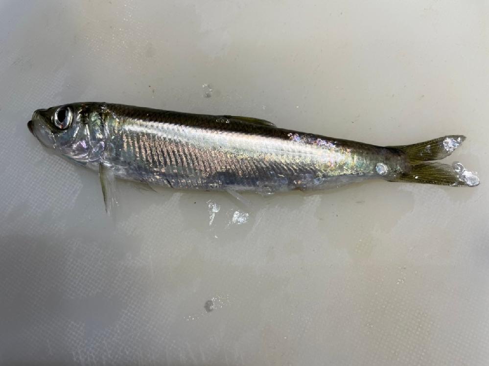 このお魚の名前をわかる方教えて頂きたいです。 今日の夕方、道東の堤防で釣れました。 体長16センチでした。