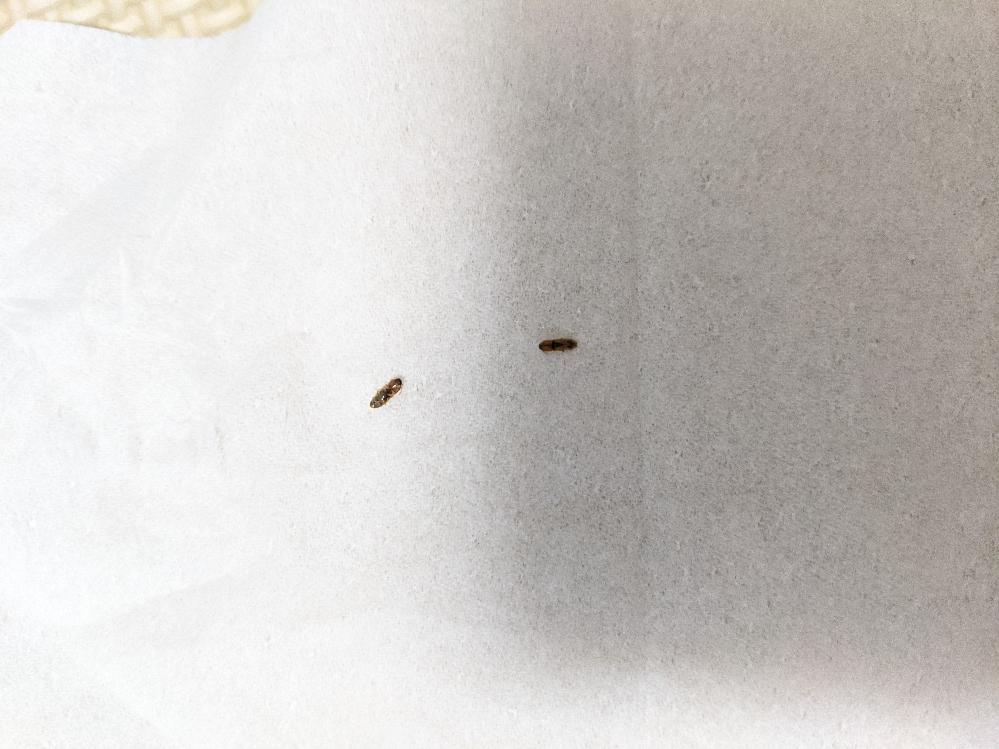 1週間前ぐらいから家の中で茶色の細長い虫が、1日2〜3匹出没するようになりました。 この虫はいったいなんなのでしょうか? どなかたか、知っているかた教えていただけますか?