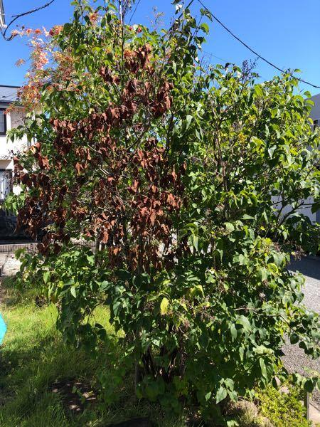 庭のライラックが1本の幹の葉だけ枯れてしまいました。 病気でしょうか…害虫でしょうか…。 幹に穴や、地面におが屑のようなものは落ちていませんでした。 枯れている幹だけ切り落とせば良いでしょうか。