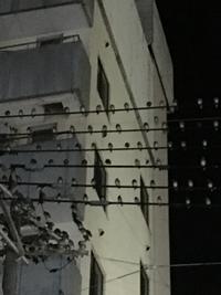 何という鳥なのか教えてください。 ケヤキなどの街路樹の葉っぱの中に群れをなして 留まっていたり、写真のように(夜なので画像は不鮮明ですが) 電線にズラ〜っと留まって チュンチュン、チュンチュンと うるさいくらい鳴き続けるスズメくらいの鳥なんですが 何という鳥なんでしょうか? いつも何百匹と群れて生活しているのではないかと 思います。 群れをなして留まっている電線の下を歩く時は...