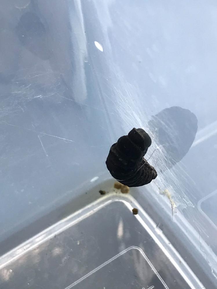 1年前より主にナミアゲハの飼育を行っています。 大多数が無事に成長し、羽化して飛び立って行くのですが、中には亡くなる幼虫もいて生命の尊さを感じる日々です。 そのような中、先日幼虫に奇妙な症状が出たので、お詳しい方お力を貸して頂けないでしょうか。 写真は終齢まで進んだナミアゲハの幼虫です。 前蛹になるまでは全く問題なく元気に成長していたのですが、前蛹になると同時に少しずつ体が黒くなっていき、最終的には写真のように真っ黒になってしまいました。 脱皮阻害剤の存在は知っていますが、蛹化のみ阻害するような薬剤など存在するのでしょうか? 宜しくお願い致します。