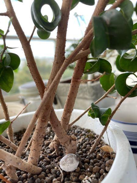 フィカス ベンジャミン バロックを育てています。 枝に黒いブツブツがあることに気付いたのですがこれは虫でしょうか?こすると取れます。 ウンベラータも育てていてこちらにもブツブツがあります(ウン...