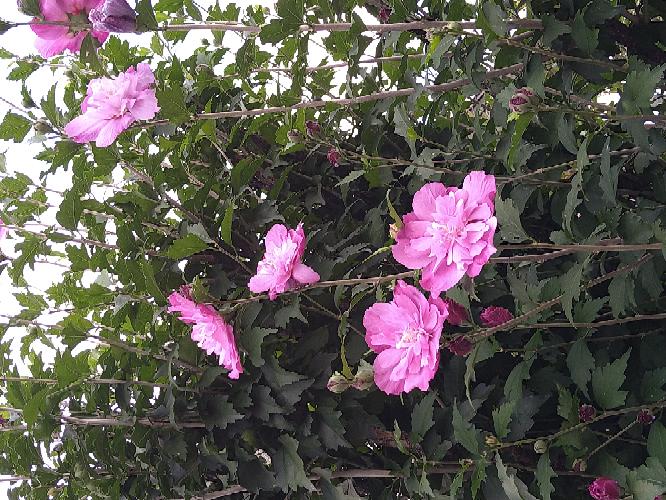 この花は何という花ですか? 先程、間違えて投稿してしまい、削除しました。ご回答頂いた方申し訳ありません。 夏の初めに、虫の卵みたいなものがびっしり付いていて、恐ろしくて太い枝以外は全て葉とともに切り落としました。 その後、健康な葉がどんどん出てきて、今になりこんなに、きれいな花が咲きました。長年庭先にありますが、こんなにきれいに咲いたのは初めてではないかと思います。 かなり大胆に切ったのに、生命力強いですね。 また来年も咲くのかな。でも、また卵がびっしり付いたら怖いな‥