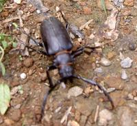 このカミキリ虫の名前わかりますか?