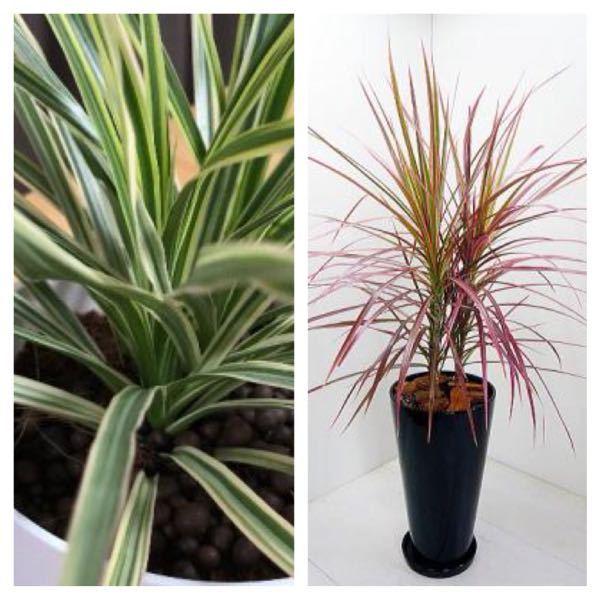 コンシンネという観葉植物は種類によって色が違うのでしょうか? 写真のような二つが売っていたのですが左が成長すると右の赤色になるんでしょうか? それとも種類の違うコンシンネになるんですかね? よ...