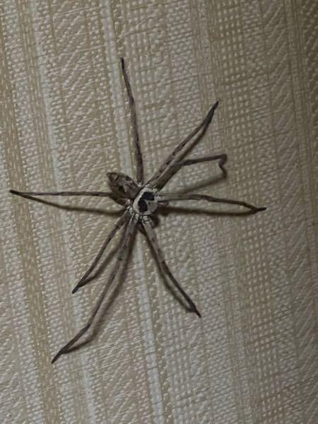 閲覧注意!!蜘蛛の写真あり。 家にデカい蜘蛛が出ました。 これはゴキを駆除してくれるアシダカ蜘蛛であってますか?