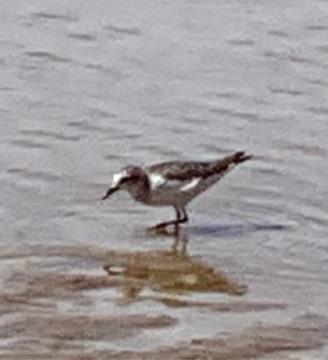 9月10日に鳥取砂丘のオアシスで撮りました。この鳥の名前を教えてください。