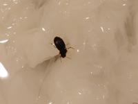 ゴキブリのような虫を見つけてしまいました… 見つけた時、とっさのことだったので写真をとる前にティッシュで潰してしまいました 動かれると怖いので洗面台に水をため、そこに浸からせながらとったのがこの写真です これはクロゴキブリとかなんでしょうか? それともなにか別の虫ですか? みつけたのは深夜3時頃です 有識者の方、ぜひ教えて下さい!