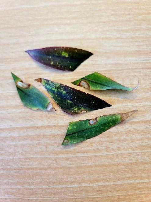 ドラセナ パープルコンパクタを育てています 最近、葉が画像のような状態になってしまいました… 1部の葉でこのような状態になっている葉は全体の3割ぐらいです。 何かの病気なのでしょうか? 解決策...