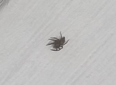 家の中にいたクモ なんてクモかご存知のいらっしゃいませんか? 壁をのそのそ登っています。1cmくらいです。 怖くてあまり近づけず、画質は悪いのですがわかる方よろしくお願いします。