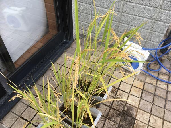 お世話になります。 家庭菜園でバケツ稲をやってます。 稲穂がだいぶ黄色くなり、頭を垂れてきました。 このくらいで刈り取りを始めてよろしいでしょうか? 刈り取る前、水をカラカラにした方がいいと聞いたことがあるのですが、乾燥させた方がよろしいでしょうか? お分かりになる方、教えていただけましたら嬉しく思います。 よろしくお願いします。