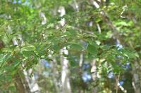 この樹木の名前は何でしょうか?