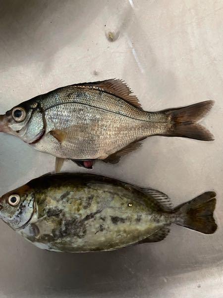 釣ったんですがこれは食べれますか?何という魚でしょう?