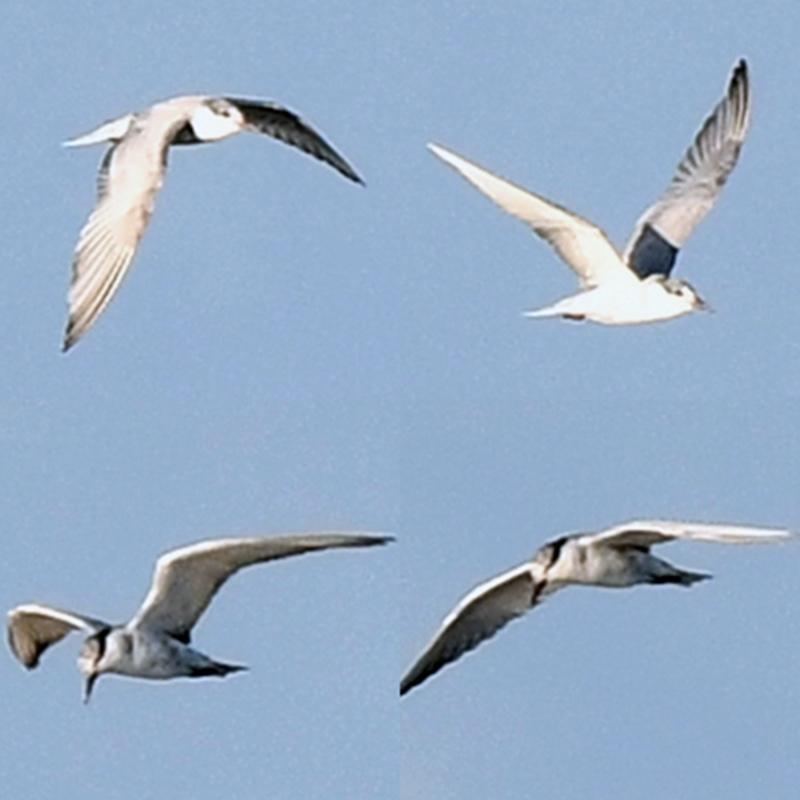 この鳥の名前をお教えください クロハラアジサシであってますでしょうか? 画像が荒くて申し訳ありません 4つの画像は全て同一個体です 合成して一枚にしています なにとぞよろしくお願いいたします