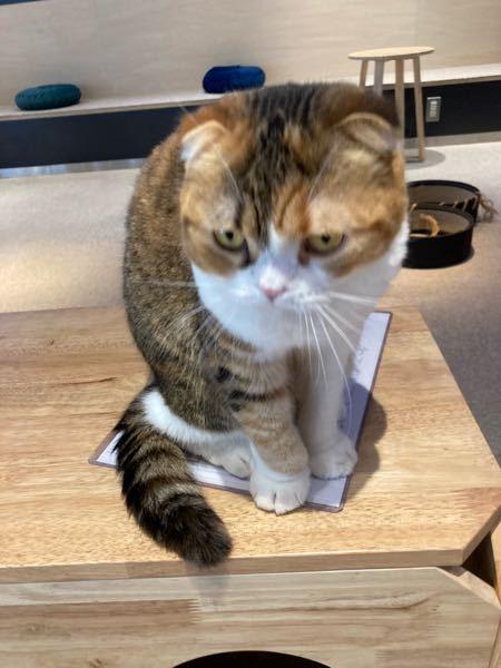 画像の猫な種類を教えてください