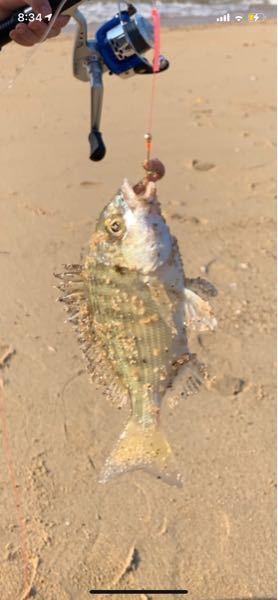 この魚は何でしょうか??