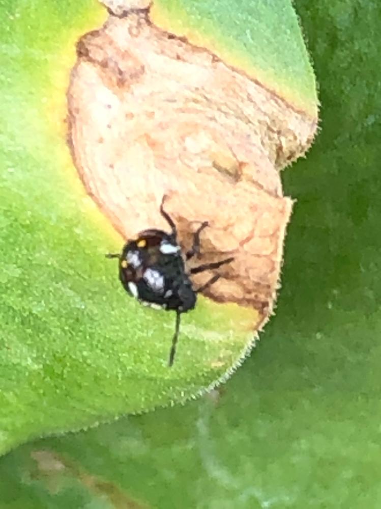 サマーミストと言う植物(写真はオーリキュラの葉)に写真のような、黒く背中に白とオレンジの斑点がある虫を多数見つけました。 (場所は都内8階の東向きベランダです) これはカメムシの幼虫でしょうか? また、この虫は害虫?益虫?のどちらでしょうか? お分かりの方教えて頂ければ幸いです。