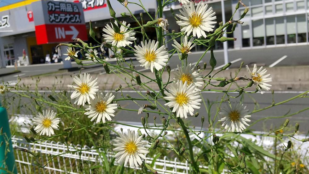 この花の名前教えて下さい。ひめじょおんぽく黄色い花です