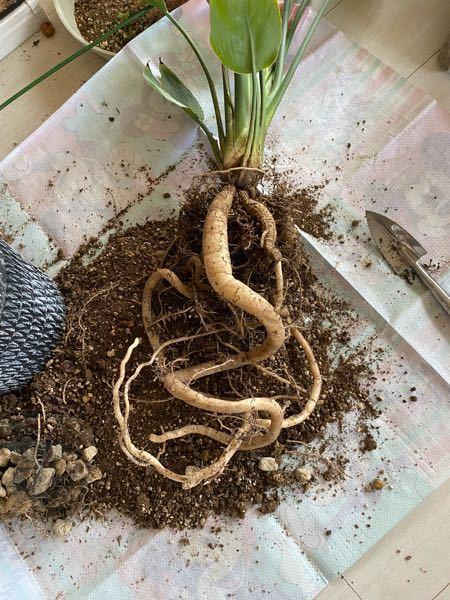 ストレチアの根っこについてです ぐんぐんと大きくなりすぎて、 茎がだらんとしなってきてしまっています これ以上大きくしたくないのですが、この太い根っこは切らないほうがいいのでしょうか?