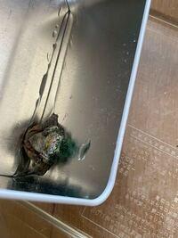 至急です! このカエルはまだいきてますか? 家の中にいて31℃の湿度30パーセントの部屋にいました。  いつきたのかは分かりません。  なかなか触れなくて見つけて30分ぐらいなにも出来なかったです。  見つけたときは少し動いてました。