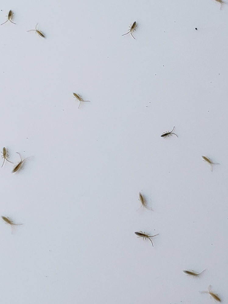 この虫は何ですか? 大量に発生しており、駆除方法を探しています。 体長3ミリくらいかな? 屋外に置いてある、洗濯機の周辺に発生中。