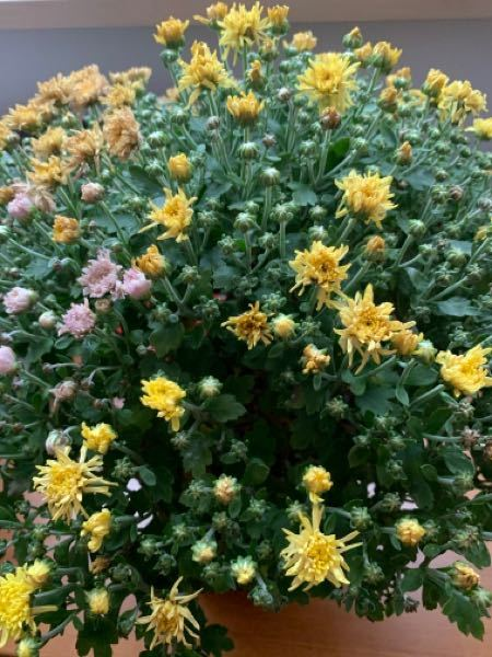 小菊の鉢植えを貰いました。 室内で水をあげてますが、最近元気がなくなりつつあります。 これって、枯れたらおしまいですか? 抜いて捨てたら良いのですか? それとも、カットしてそのまま水をあげ続けると来年咲くのでしょうか? 育てるの初めてで教えていただけたら嬉しいです。