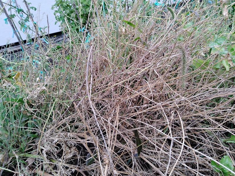 大根の種はどうやって取るのですか 大根の種を取るためには、トウ立ちさせて開花後に出来る鞘から取るとのことですが、我が家の家庭菜園ではトウ立ちして開花したまでは良いのですが、写真のとおり、鞘ができていません。 これは何が悪かったのでしょうか。 そもそも、最初から種を取るつもりはなく、普通に大根を作ったるもりだったんですが、トウ立ちしてしまったため種取りをしようと思ったものです。