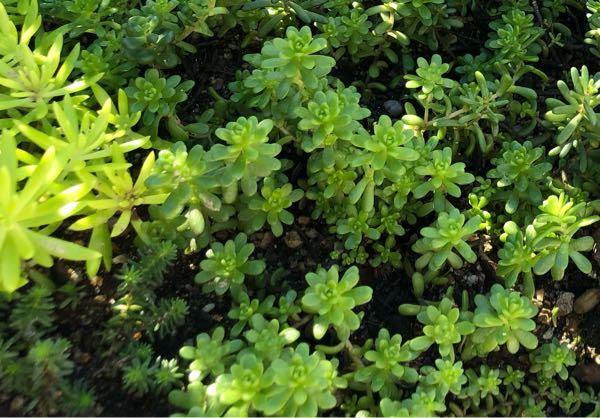 多肉植物、セダムの名前を教えて下さい。 こちらの写真です↓ 大きさの目安として 左上がゴールドビューティー 左下がサクサグラレモスグリーン です。 宜しくお願いします。
